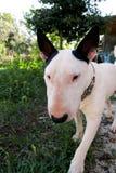 Chien blanc de bull-terrier anglais dans le jardin extérieur, un bel environnement naturel Le chien blanc de bull-terrier marche  Images libres de droits