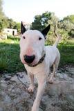Chien blanc de bull-terrier anglais dans le jardin extérieur, un bel environnement naturel Le chien blanc de bull-terrier marche  Photographie stock libre de droits