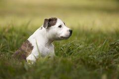 Chien blanc de bull-terrier du Staffordshire de bébé en parc Photographie stock libre de droits
