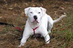 Chien blanc de Pitbull Terrier d'Américain avec l'oeil bleu Image stock