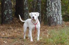 Chien blanc de Pitbull Terrier d'Américain avec l'oeil bleu Images stock