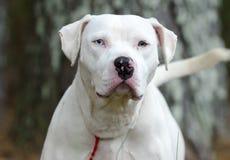 Chien blanc de Pitbull Terrier d'Américain avec la queue de remuement d'oeil bleu Image stock
