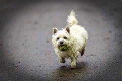 Chien blanc de Terrier de cairn fonctionnant avec la boule verte dans sa bouche Photo stock