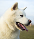 Chien blanc du portrait OD Akita Inu Photo stock
