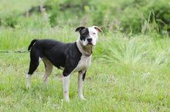 Chien blanc et noir de Pitbull avec l'oeil bleu, photographie d'adoption de délivrance d'animal familier Photographie stock libre de droits