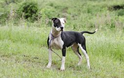 Chien blanc et noir de Pitbull avec l'oeil bleu, photographie d'adoption de délivrance d'animal familier Image stock