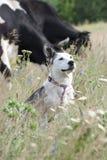 Chien blanc et vaches de race mélangée Images stock