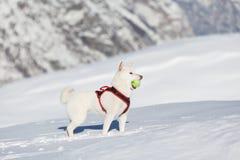 Chien blanc jouant la boule de tenis dans la neige Photos libres de droits