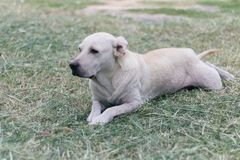 Chien blanc Labrador se trouvant sur l'herbe image libre de droits