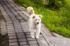 Chien blanc mignon et pelucheux avec l'étiquette d'animal familier, sur le trottoir concret à côté de l'herbe verte image stock