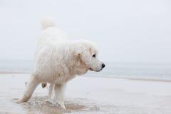 Chien blanc mignon jouant sur la plage Photos stock