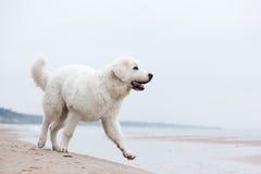 Chien blanc mignon marchant sur la plage Images libres de droits