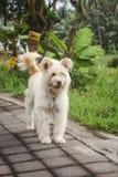 Chien blanc pelucheux adorable avec l'étiquette d'animal familier, sur le trottoir concret à côté de l'herbe verte image stock
