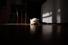Chien blanc prenant un bain de soleil dans une salle ombragée Photo libre de droits