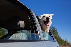Chien blanc regardant hors de la fenêtre de voiture Images libres de droits