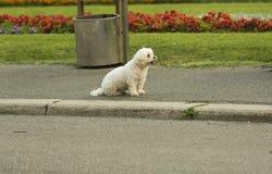Chien blanc seul sur la rue photos libres de droits