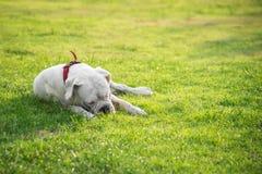 Chien blanc très fatigué se trouvant sur l'herbe verte Photos stock