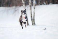 Fonctionnement de chien de border collie pour attraper un jouet en hiver photos stock