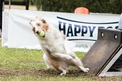 Chien Border collie flyball. Chien Border collie saut  flyball Stock Photos