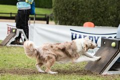 Chien Border collie flyball. Chien Border collie saut  flyball Royalty Free Stock Photo