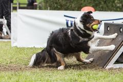 Chien Border collie flyball. Chien Border collie saut  flyball Stock Images