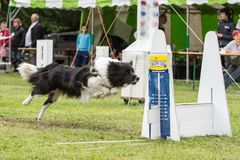 Chien Border collie flyball. Chien Border collie saut  flyball Stock Photo