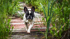 Chien, bouledogue français Photo stock