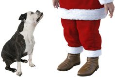 Chien, bouledogue, Santa Claus, d'isolement photos stock