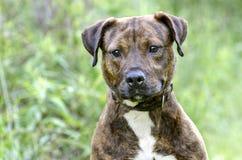Chien bringé de race mélangé par Terrier de Pitbull Image libre de droits