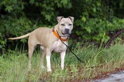 Chien bronzage et blanc de Pitbull Terrier par le côté de la route Photo stock