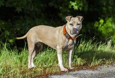 Chien bronzage et blanc de Pitbull Terrier par le côté de la route Images stock