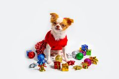 Chien Brown de chiwawa Images stock