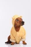 Chien brun drôle de teckel habillé Photo libre de droits