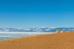 Chien brun seul sur la colline à l'île d'Olkhon, lac congelé Baikal images libres de droits