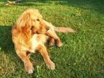 Chien calme de golden retriever se trouvant sur l'herbe dans le jour d'été ensoleillé Image libre de droits