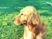 Chien calme de golden retriever se trouvant sur l'herbe dans le jour d'été ensoleillé Photographie stock libre de droits