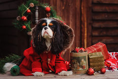Chien cavalier d'épagneul de roi Charles avec des décorations de Noël à la maison de campagne en bois confortable Photographie stock libre de droits