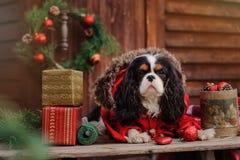 Chien cavalier mignon d'épagneul de roi Charles dans le manteau rouge célébrant Noël à la maison de campagne confortable Image stock