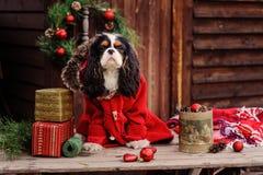 Chien cavalier mignon d'épagneul de roi Charles dans le manteau rouge célébrant Noël à la maison de campagne confortable Images stock