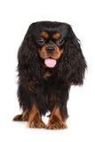 Chien cavalier noir et bronzage adorable d'épagneul de roi Charles Photos stock