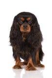 Chien cavalier noir et bronzage adorable d'épagneul de roi Charles Photo stock