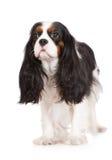 Chien cavalier tricolore adorable d'épagneul de roi Charles Photographie stock libre de droits