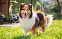 Chien, chien de berger de Shetland, colley, sheltie Photo libre de droits