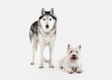 Chien Chien de traîneau sibérien et montagne Terrier blanc occidentale sur le CCB blanc Photographie stock libre de droits