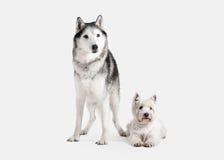 Chien Chien de traîneau sibérien et montagne Terrier blanc occidentale sur le CCB blanc Images stock