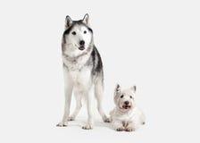 Chien Chien de traîneau sibérien et montagne Terrier blanc occidentale sur le CCB blanc Image libre de droits