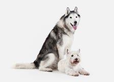 Chien Chien de traîneau sibérien et montagne Terrier blanc occidentale sur le CCB blanc Image stock
