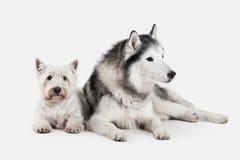 Chien Chien de traîneau sibérien et montagne Terrier blanc occidentale sur le CCB blanc Photographie stock
