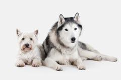 Chien Chien de traîneau sibérien et montagne Terrier blanc occidentale sur le CCB blanc Photo libre de droits