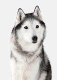 Chien Chien de traîneau sibérien sur le fond blanc Photos libres de droits